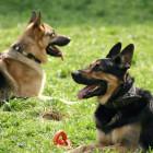 German sheep-dogs
